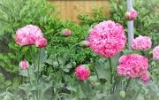 10th Jun 2017 - Poppies in the garden