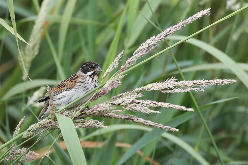 2017 06 22 - Reed Bunting by pixiemac