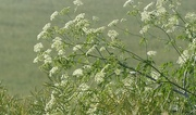 22nd Jun 2017 - In the Fields:  cow parsley on show