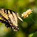Eastern Tiger Swallowtail! by rickster549