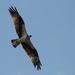Osprey Floating Overhead!