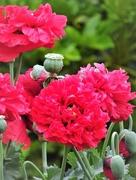 17th Jun 2017 - Poppies