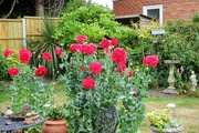 16th Jun 2017 - Red Poppies