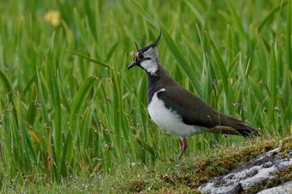 DAMP LAPWING by markp