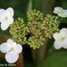 Lace Wing Hydrangea