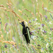 Bobolink and wildflowers