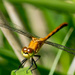 Dragonfly Orange Frontal Wide Closeup