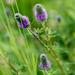 Purple Prairie-Clover