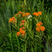 Fleabane and Butterfly Weed Wide