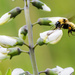 Bee and Wild Indigo Landscape Flying