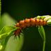 Unknown Caterpillar!