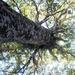 looking up , Kauri tree