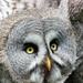 2017 06 23  - Great Grey Owl by pixiemac