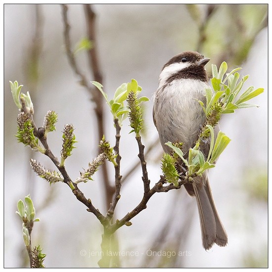 Chestnut-backed Chickadee by aikiuser