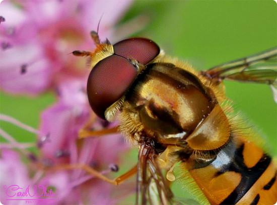 Hoverfly On Spirea (best viewed large) by carolmw