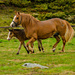 Dole horses