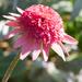 Cone Flower by cdonohoue