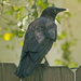 Crow on the Back Fence!