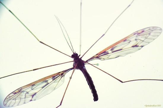 Cranefly by yorkshirekiwi