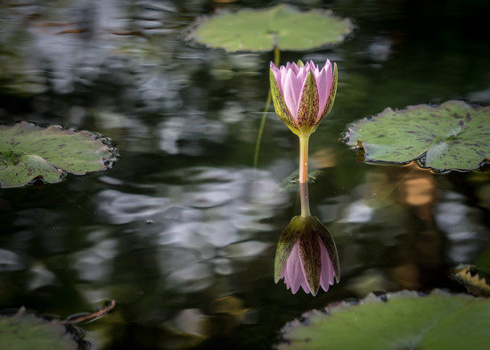 Water Lily by rosiekerr