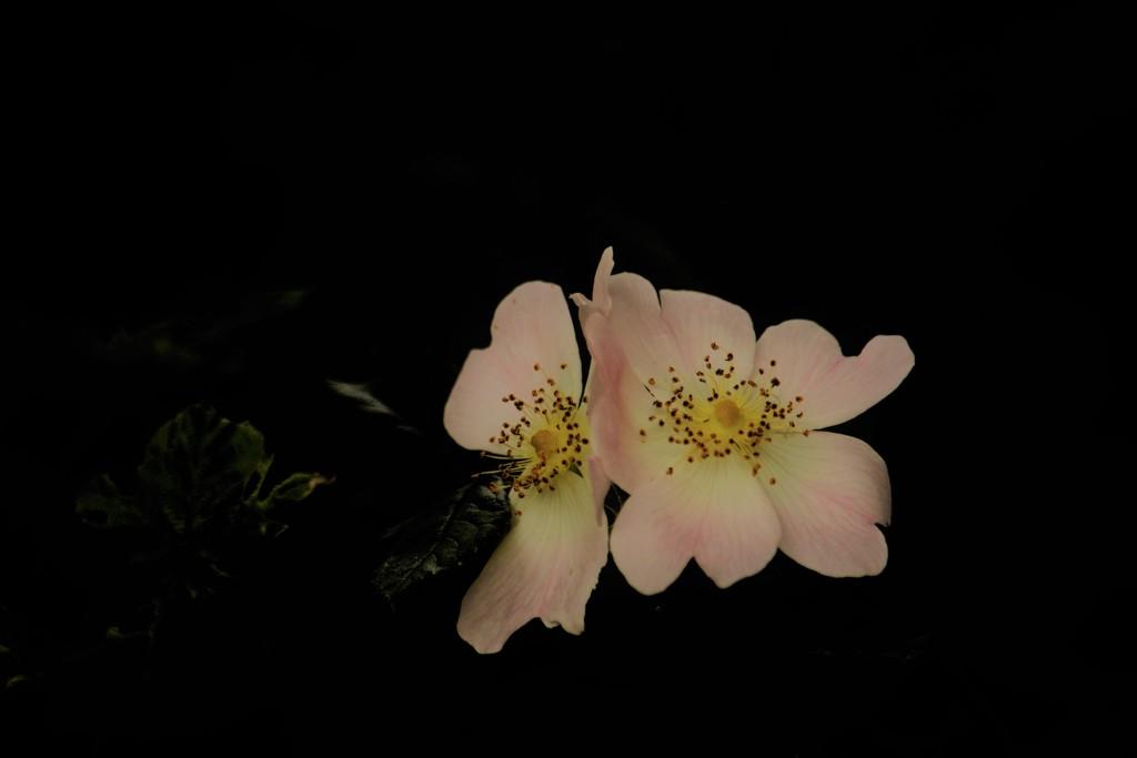 Wild roses...... by ziggy77