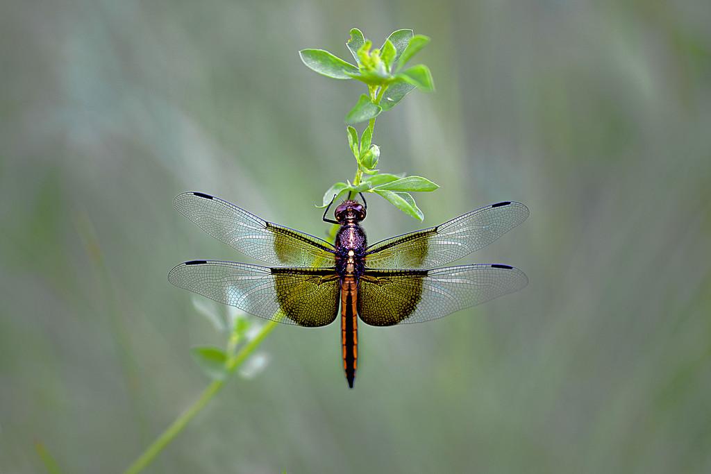 Good morning dragonfly! by fayefaye