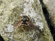 25th Jun 2017 - 30 Days Wild - Day 25 - Bog Hoverfly
