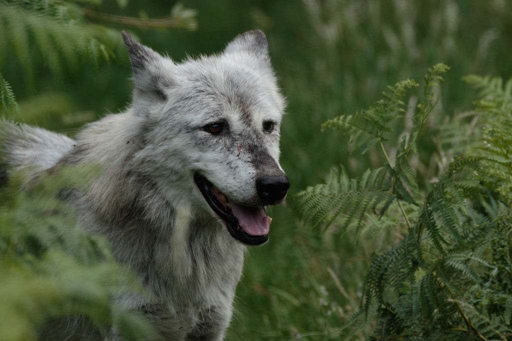 2017 06 25 - Wolf by pixiemac