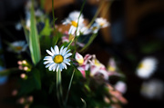 25th Jun 2017 - Mrs S's Kitchen Table Wild Flowers - Lensbaby Style...