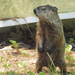 Groundhog by gaylewood