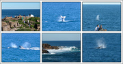 26th Jun 2017 - Boat Harbour - Whale Migration