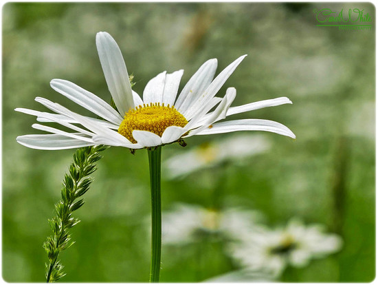 Daisy And Grass Seed by carolmw