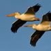 American white pelicans by mjalkotzy