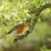 Chirpy Robin....