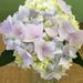 Hydrangea/Newport Flower Show