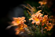 26th Jun 2017 - Day-Lily - Lensbaby Style...