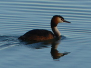 27th Jun 2017 - A Grebe