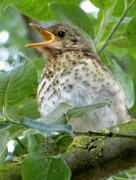 26th Jun 2017 - Young song thrush singing in the garden....
