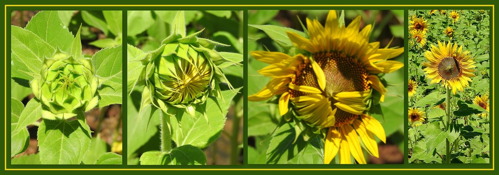 Sunflowers Opening! by homeschoolmom