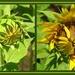 Sunflowers Opening!