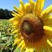 Sunflower in the Summer!