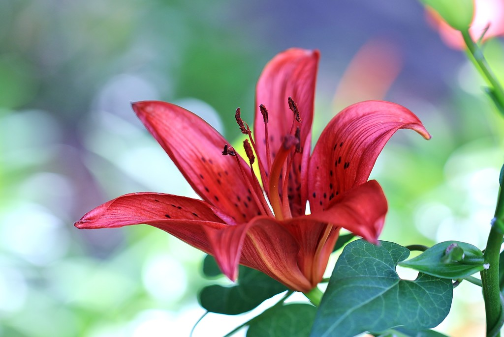 A Lily by lynnz