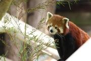 27th Jun 2017 - Red Panda