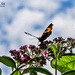 Small Tortoiseshell Butterfly On Buddleia