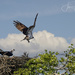 Men Roll Over and Go to Sleep, Osprey Males Fly Off