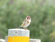 28th Jun 2017 - A Goldfinch