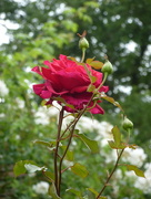 27th Jun 2017 - Lots more rosebuds  to open out....