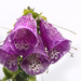 Foxglove after the Rain by megpicatilly