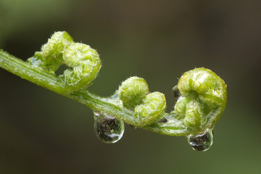 Unfurling With Drops by gaylewood