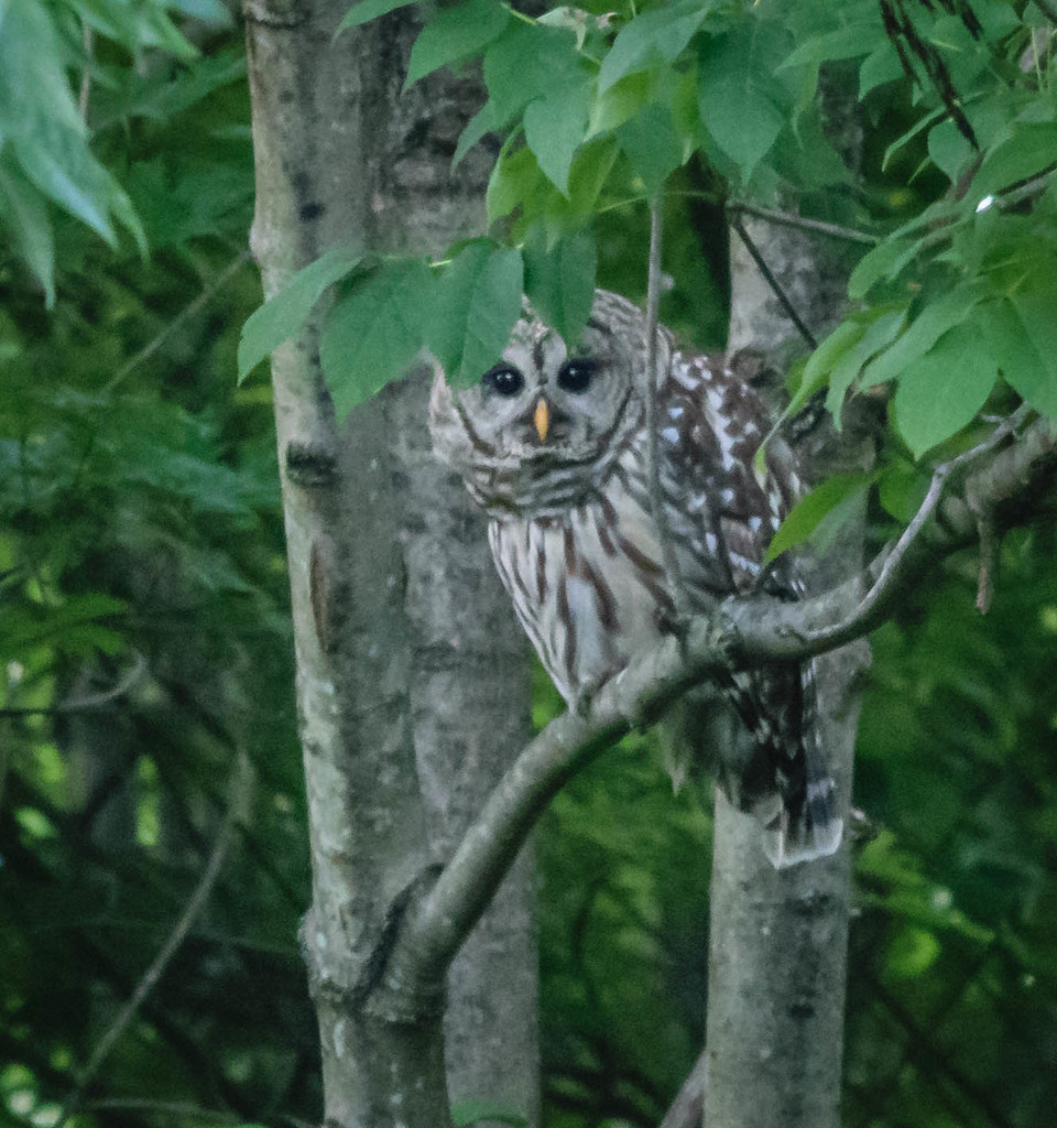 Chesapeake Barre Owl by marylandgirl58